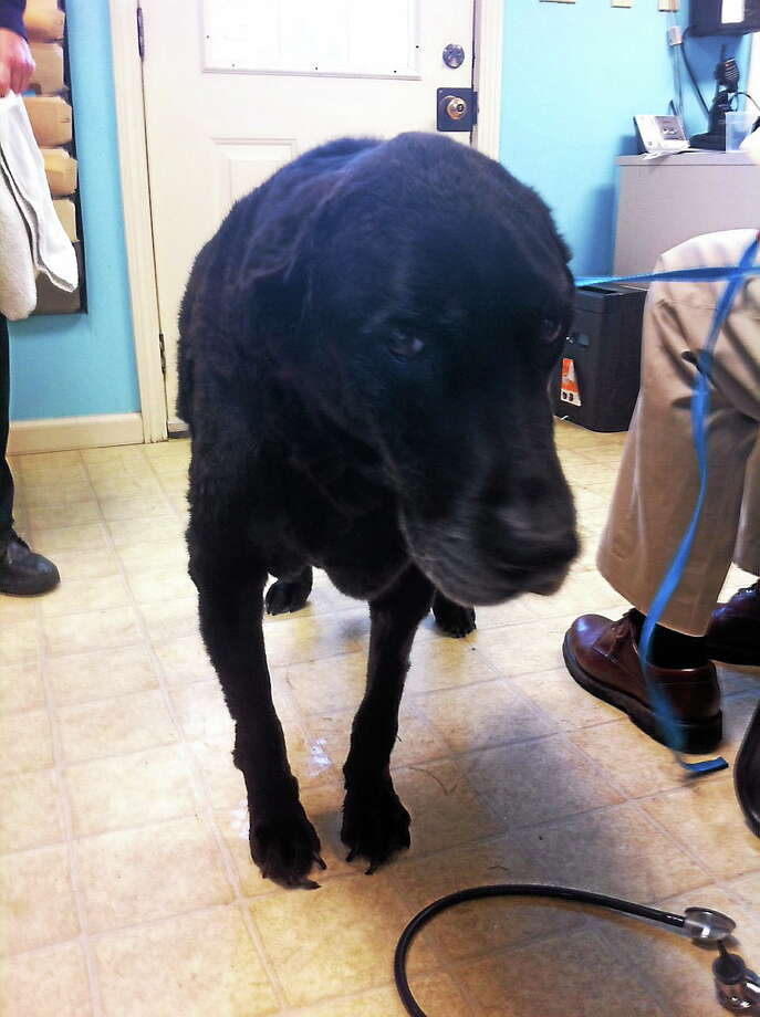 """A dog seized from a Torrington house where 26 animals were found in """"deplorable conditions,"""" according to police. Photo: Submitted Photo"""