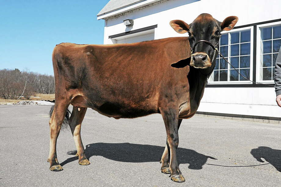 Karlie, a 3-year-old Jersey cow owned by Arethusa Farms in Litchfield. Photo: Laurie Gaboardi — Register Citizen