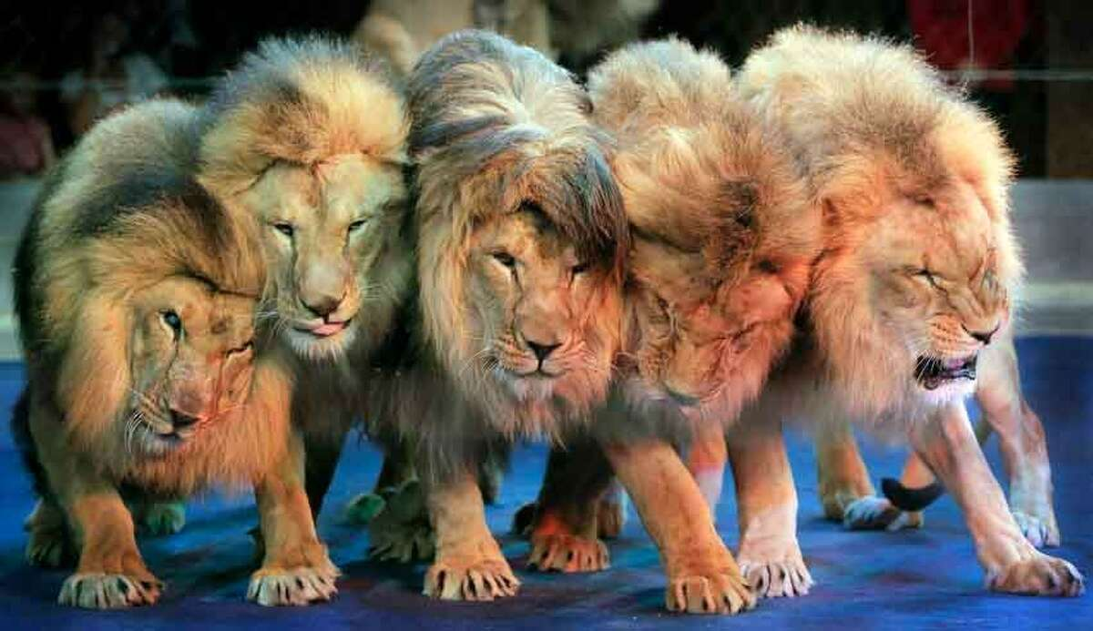 Lions performs during a show in Ukraine's National Circus in Kiev, Ukraine, Sunday, June 9, 2013. (AP Photo/Efrem Lukatsky)