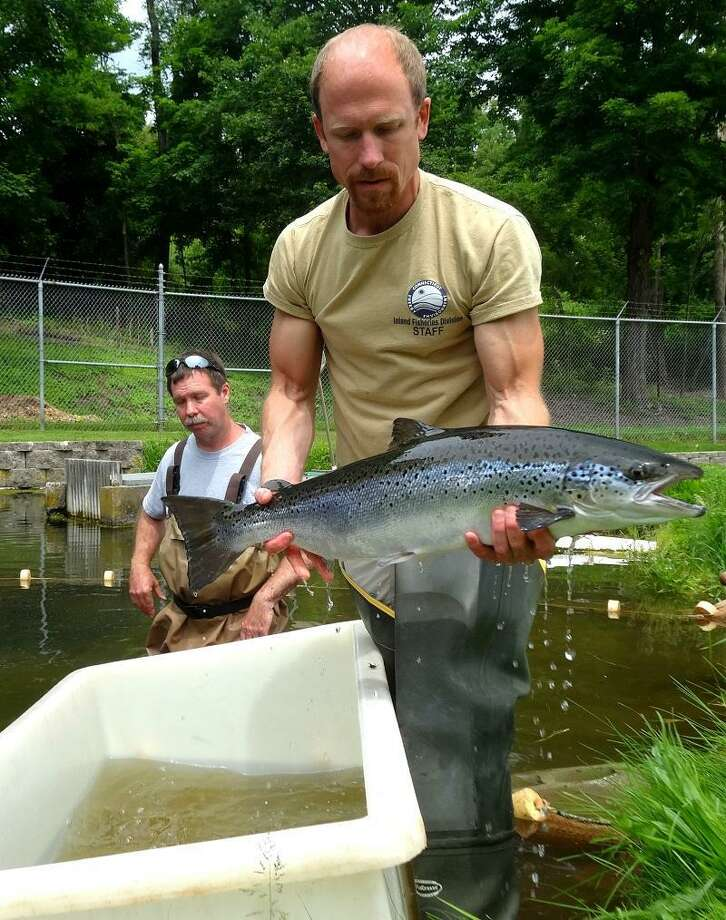 Tommy Fitzgerald holds a sedated salmon in his hand. To the left is his colleague Rick Napierski. (Darren Yip/For the Register)