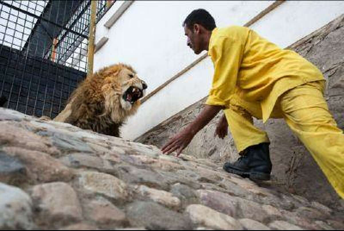 A lion keeper at the Sana'a Zoo in Yemen's capital approaches one of the facility's 20 lions. Underpaid, one of the lion keepers is said to accept bribes to allow visitors to enter the cage. (Juan Herrero/GlobalPost)