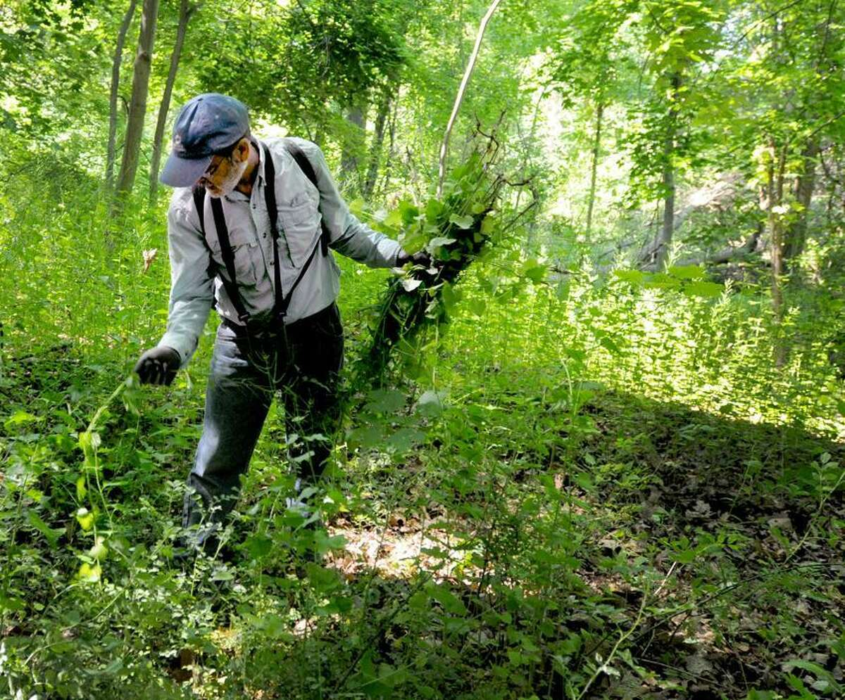 Steve Spector of Milford pulls out Garlic Mustard plant near the Eli Whitney Museum in Hamden Saturday, June 1, 2013. The Garlic Mustard plant dominates forest floors that shades out native wildflowers and tree saplings; damages native insect populations, killing larvae before they reach maturation; and inhibits mychorrizal activity, critical for nutrient and water uptake in native plants. Photo by Peter Hvizdak / New Haven Register