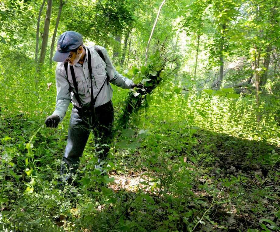 Steve Spector of Milford pulls out Garlic Mustard plant  near the Eli Whitney Museum in Hamden Saturday, June 1, 2013. The Garlic Mustard plant dominates forest floors that shades out native wildflowers and tree saplings; damages native insect populations, killing larvae before they reach maturation; and inhibits mychorrizal activity, critical for nutrient and water uptake in native plants. Photo by Peter Hvizdak / New Haven Register Photo: New Haven Register / ©Peter Hvizdak /  New Haven Register