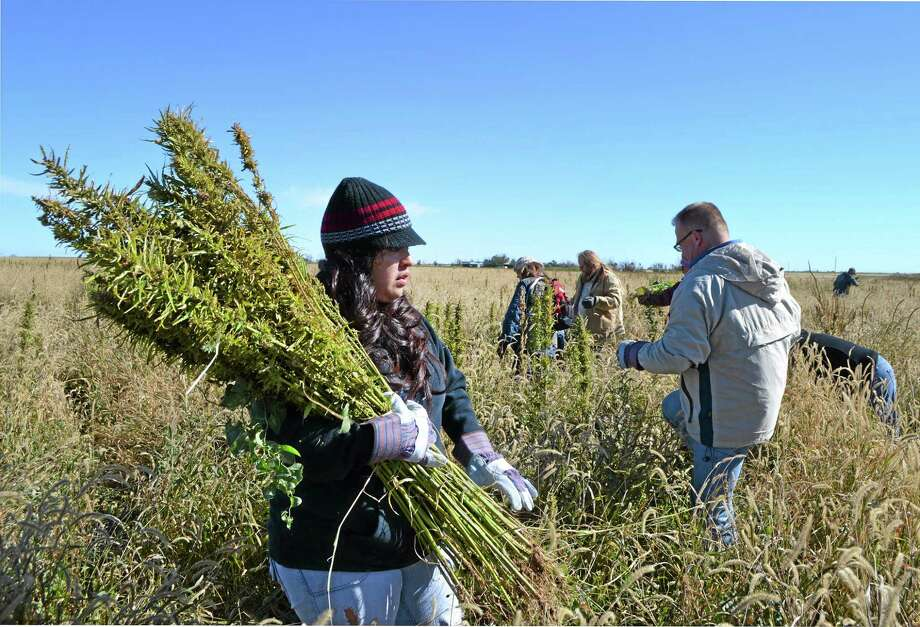 In this Oct. 5, 2013 photo, volunteers harvest hemp at a farm in Springfield, Colo. during the first known harvest of industrial hemp in the U.S. since the 1950s. America is one of hemp's fastest-growing markets, with imports largely coming from China and Canada. Most of that is hemp seed and hemp oil, which finds its way into granola bars, soaps, lotions and even cooking oil. (AP Photo/P. Solomon Banda) Photo: AP / AP