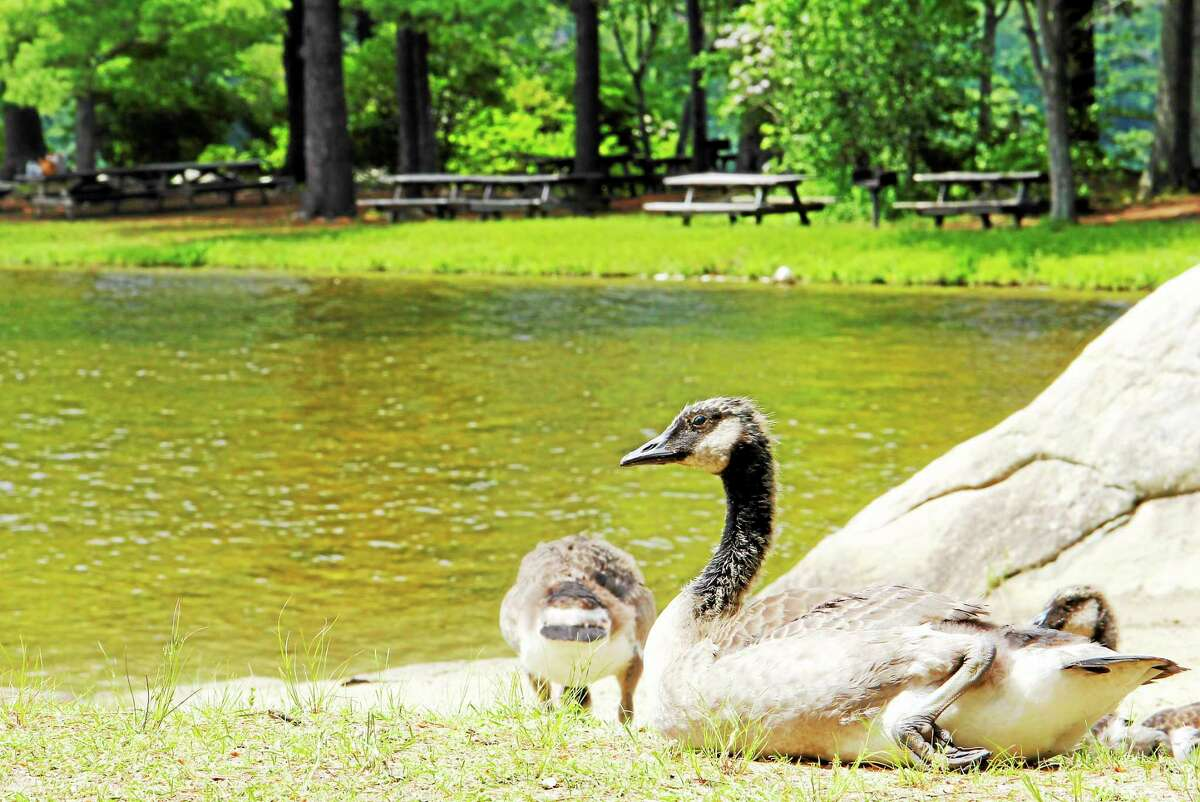 A goose sits near a picnic area at Burr Park State Pond Wednesday in Torrington. The park's beaches were closed due to high levels of bacteria.