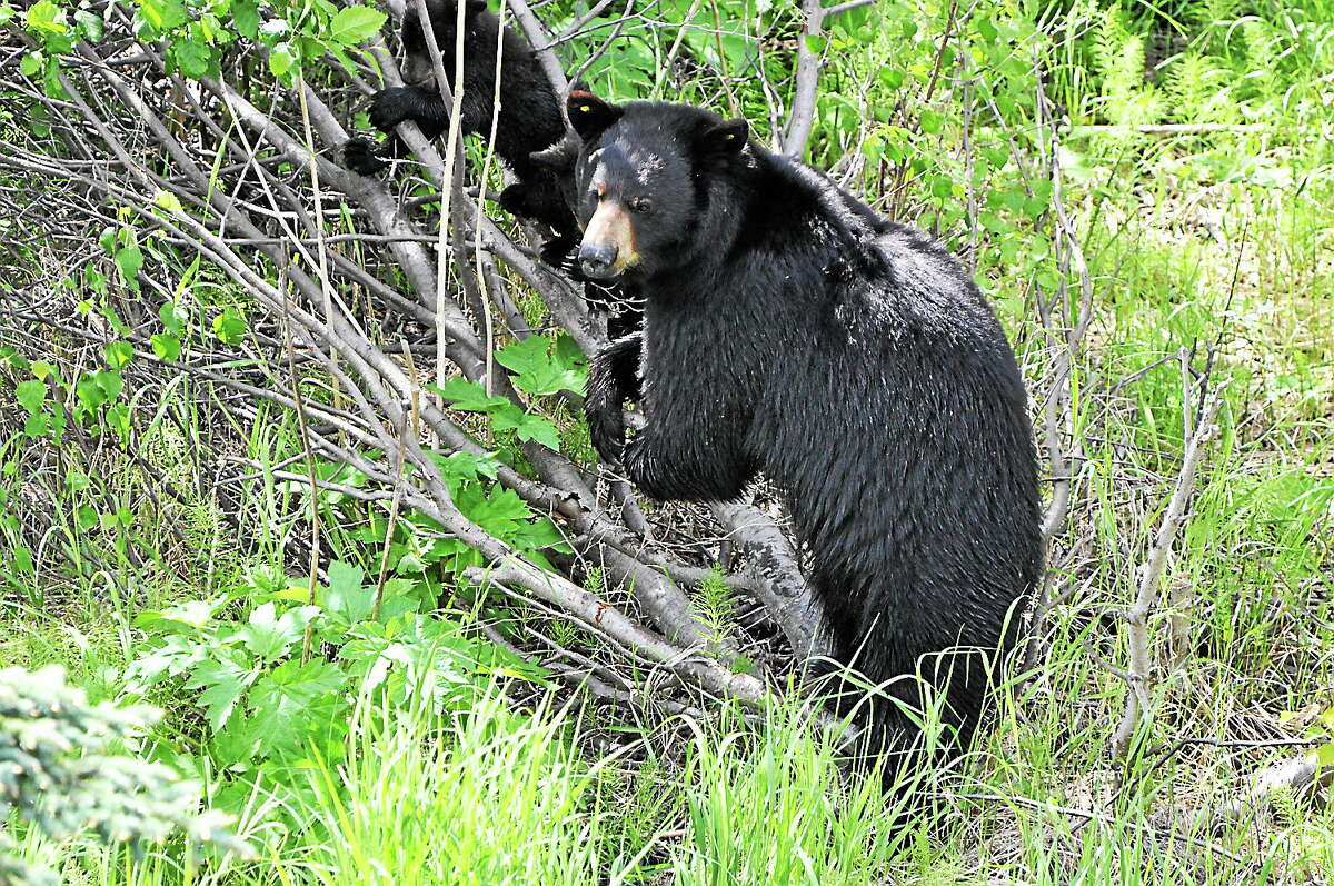This June 11, 2014, photo provided by Alaska Public Media shows a black bear.
