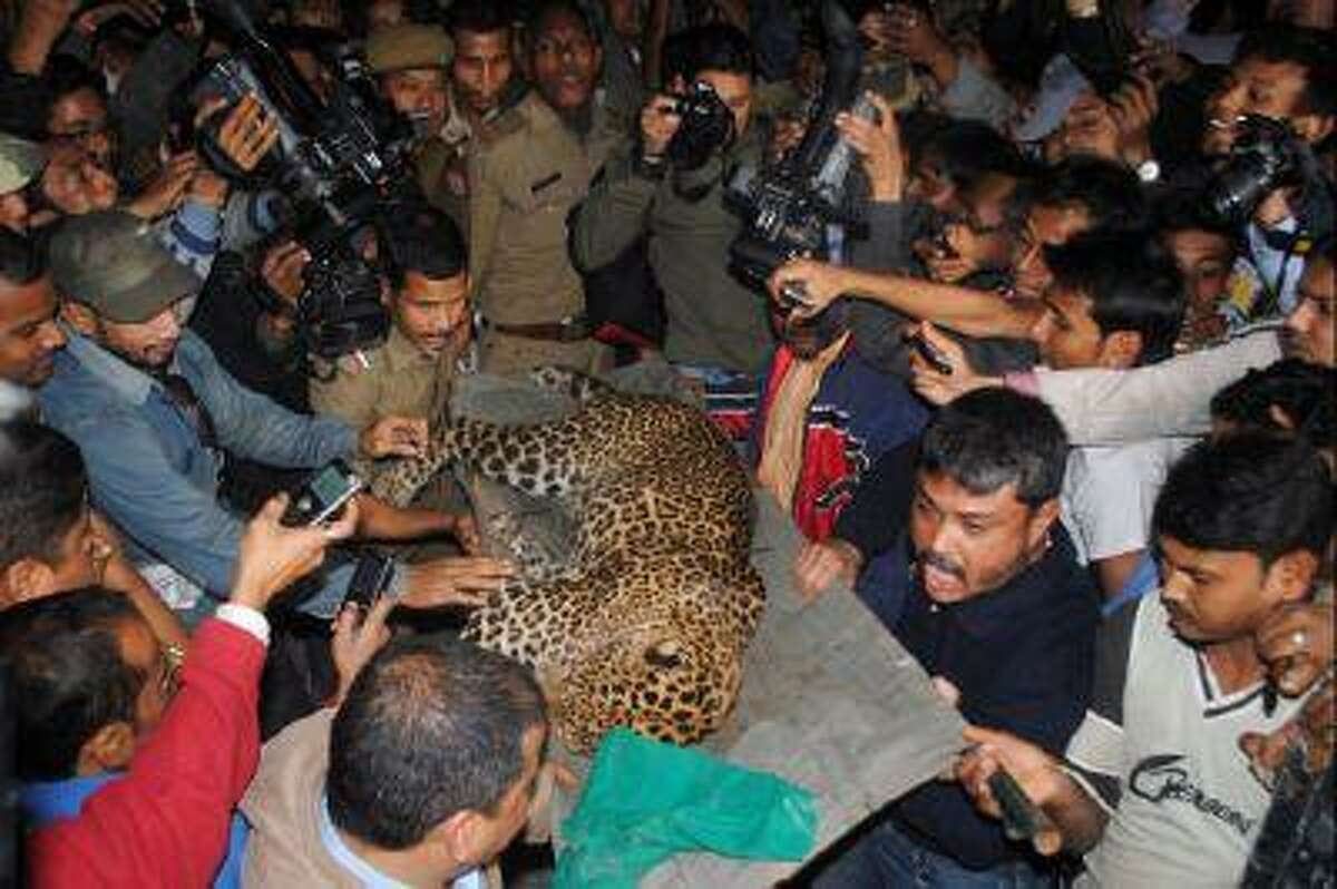 A tranquilized leopard is carried off by park officials after the feline attacked people in Guwahati, India, on Jan. 7, 2012.