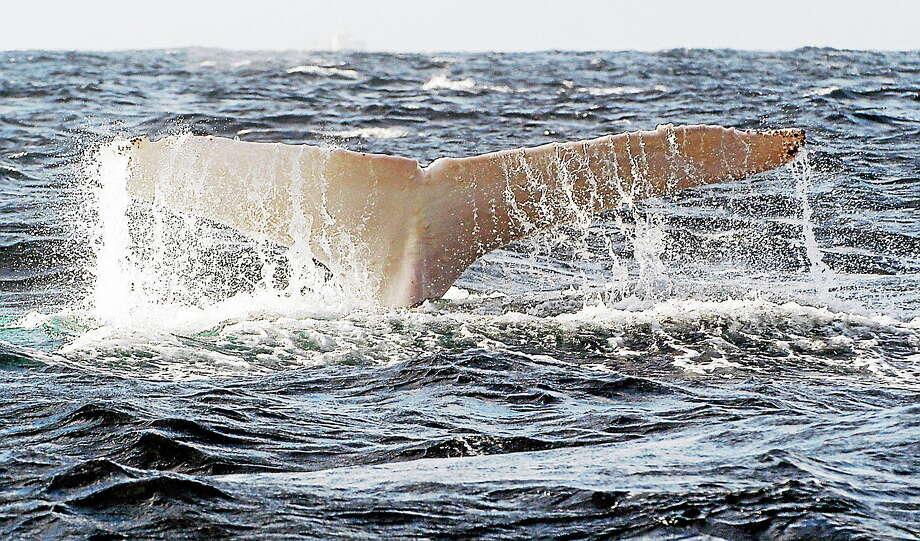 (AP Photo/Southern Cross University Whale Research Centre, Dan Burns) Photo: AP Photo/Southern Cross University Whale Research Centre, Dan Burns