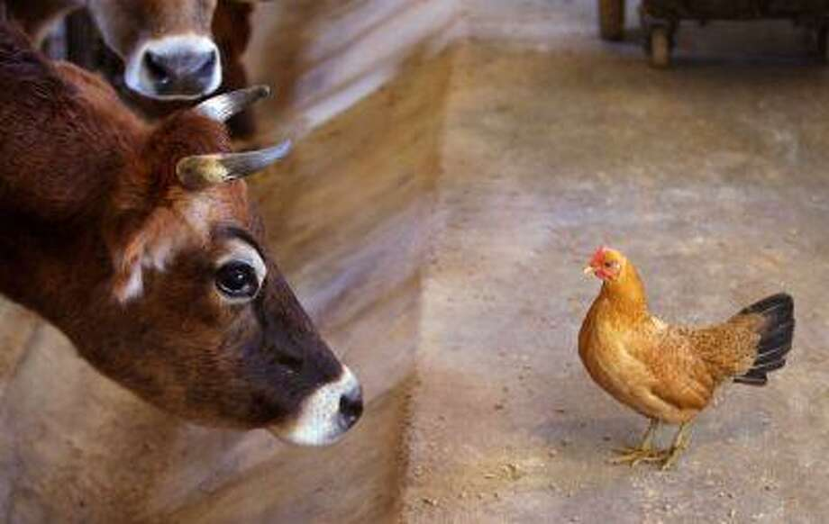 A Jersey cow stares down a chicken in the milking parlor of a farm south of Winchester, Va. on Thursday, Dec. 13, 2012. The chicken was eating spilled feed for the cows. Animal-welfare advocates are launching a campaign called The Someone Project that aims to highlight research depicting pigs, chickens, cows and other farm animals as more intelligent and emotionally complex than commonly believed. (AP Photo/The Winchester Star, Scott Mason) Photo: AP / The Winchester Star