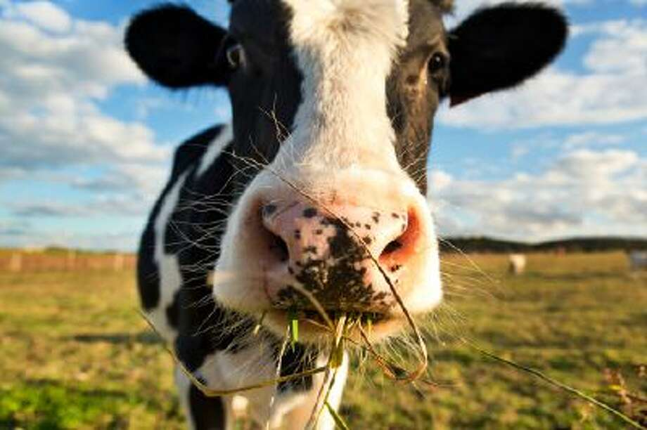 "Microchips implanted in dairy cows could help production, a potential innovation that would be part of the ""Internet of Things."" Photo: Getty Images / (c) Tony C French"