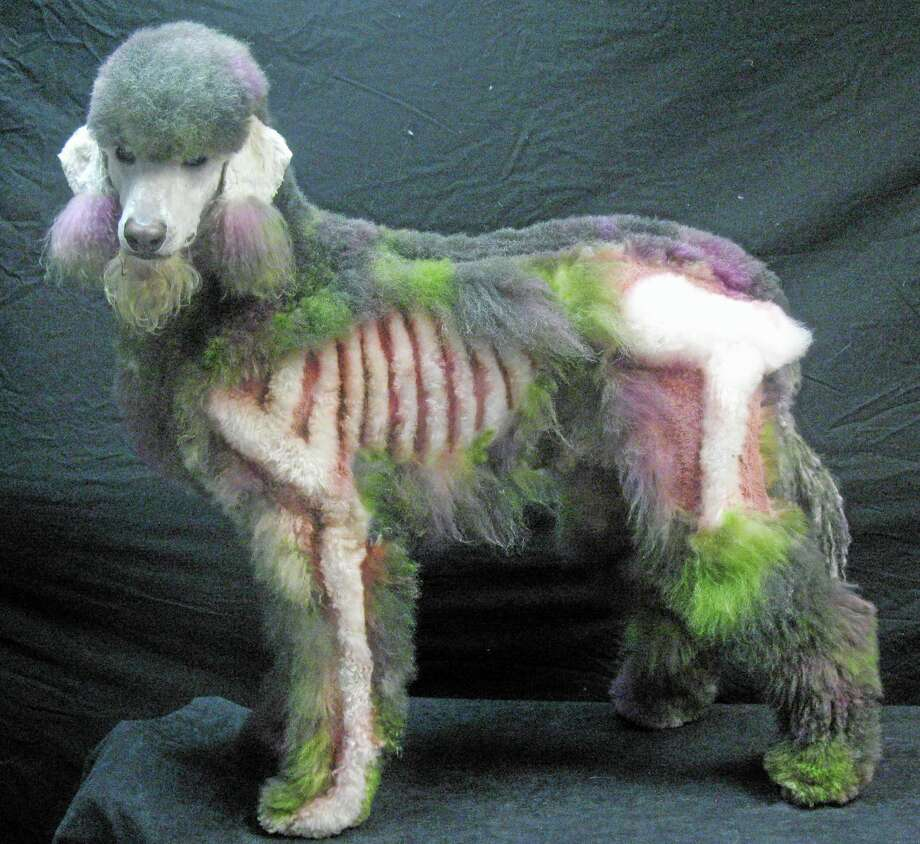 This Sept. 2013 photo released by The National Association of Professional Creative Groomers shows a 5 year old poodle, Xerxes, dressed as a Zombie for Halloween at the A.B. Grooming & Pet Spa in Childersburg, Ala. (AP Photo/NAPCG/Amy Brown) Photo: AP / The National Association of Professional Creative Groomers