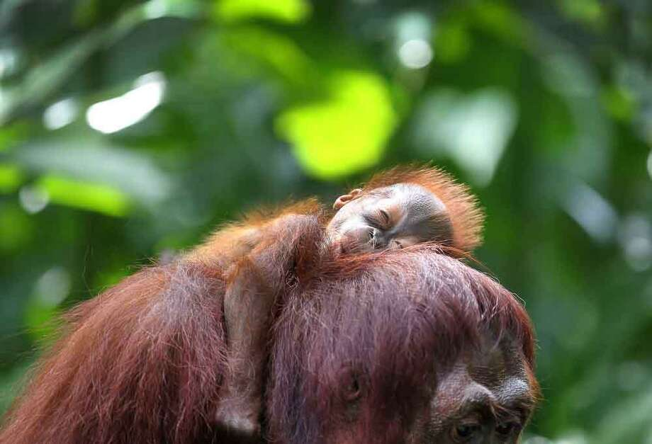 One month-old endangered Bornean Orang Utan sleeps on his mother named Miri on Wednesday, March 6, 2013, in Singapore. The Singapore Zoo is renowned for its flagship animal, the Orang Utan, and exhibits both the endangered Bornean and critically endangered Sumatran sub-species in a social setting. It is also known for its efforts in promoting and educating the public about the importance of wildlife conservation through its educational programs and breeding of these endangered species. (AP Photo/Wong Maye-E) Photo: AP / AP