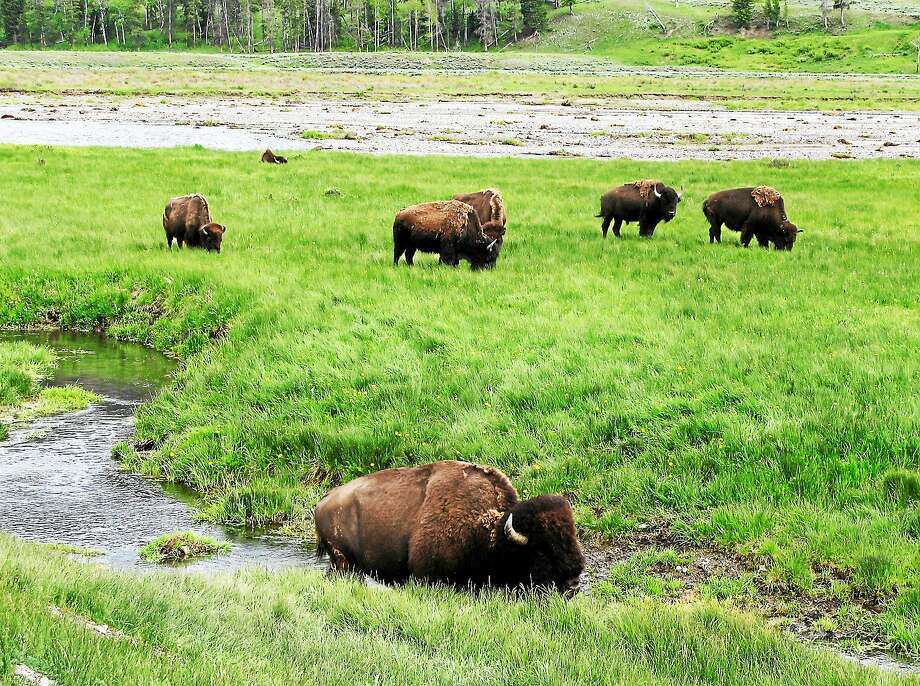 Bison graze near a stream in Yellowstone National Park in Wyoming, where park  administrators recommended removal of roughly 900 bison through hunting, shipments to slaughter and for research purposes. Photo: AP Photo/Robert Graves, File  / AP