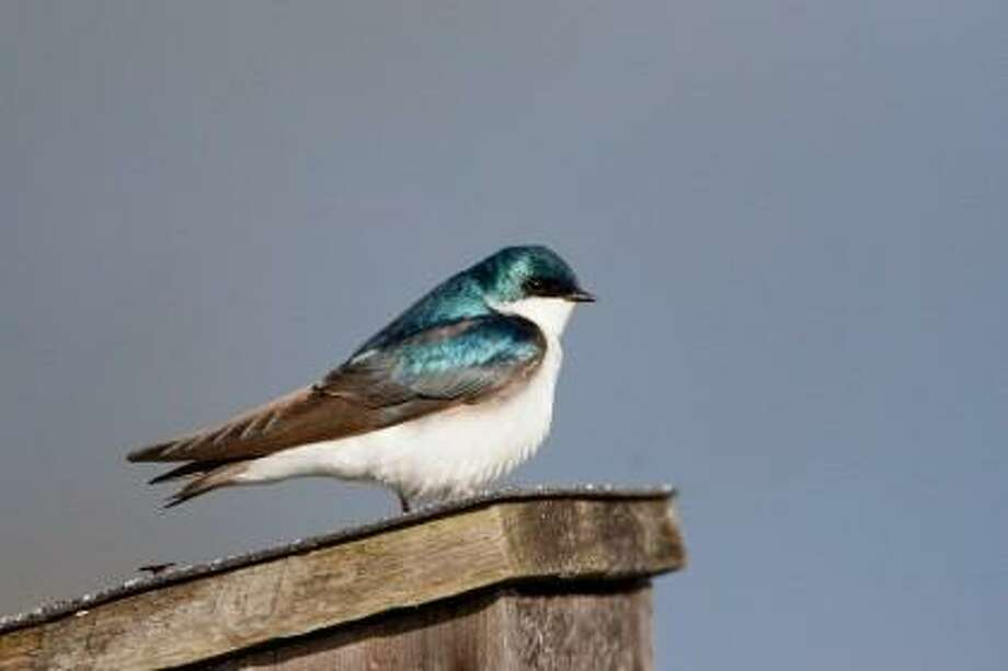 """Photo by Melissa Groo/ <a href=""""http://ctaudubon.org"""">ctaudubon.org</a> Tree Swallows are among the aerial insectivores that breed more successfully in areas with man-made nest boxes."""