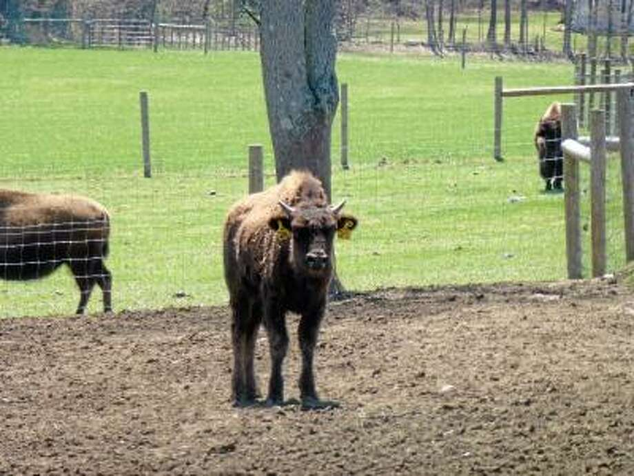 Ryan Flynn/Register Citizen -- Fay currently has 50 bison on his 60-acre property.