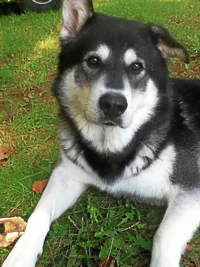 A 2-year-old Husky named Zeus that was shot in Torrington on July 20. Photo: Contributed Photo