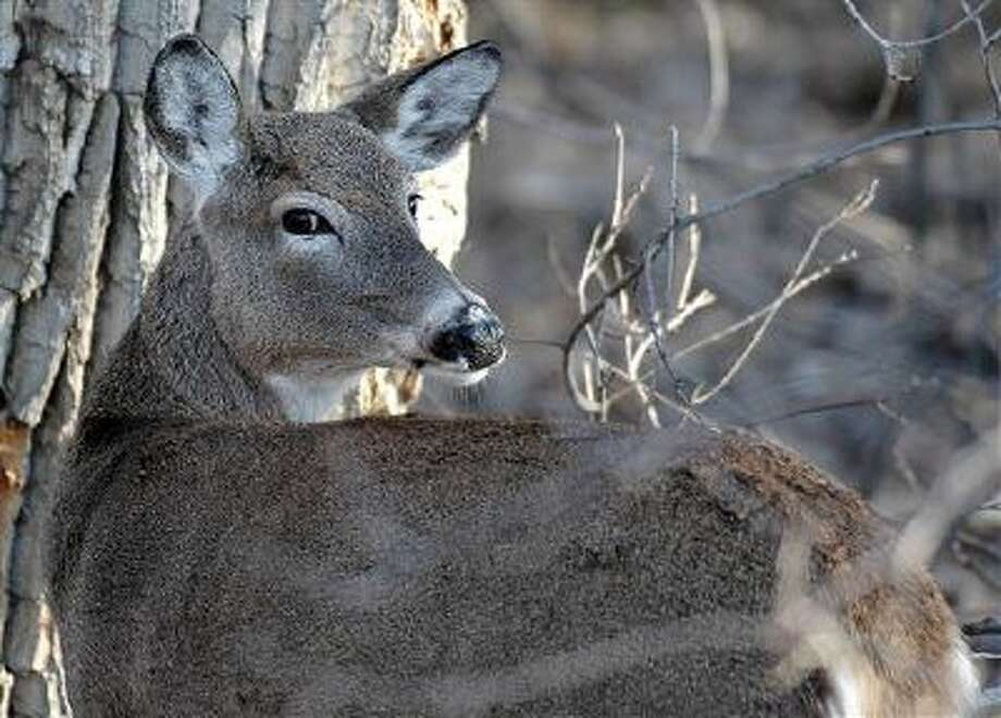 North Dakota's deer gun hunting season opened Friday, but a dramatic drop in the state's deer population in recent years means there will be fewer hunters afield. Meanwhile in Colorado, state officials consider outlawing the use of drones by hunters. (AP Photo/North Dakota Game and Fish Department) Photo: AP / North Dakota Game and Fish Depar