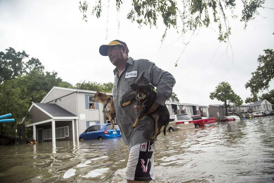 Wading through floodwaters, Felipe Grande rescues his two dogs from his apartment in the Bayou Parc at Oak Forest residential community in northwestern Houston. Photo: Marie D. De Jesus, Associated Press