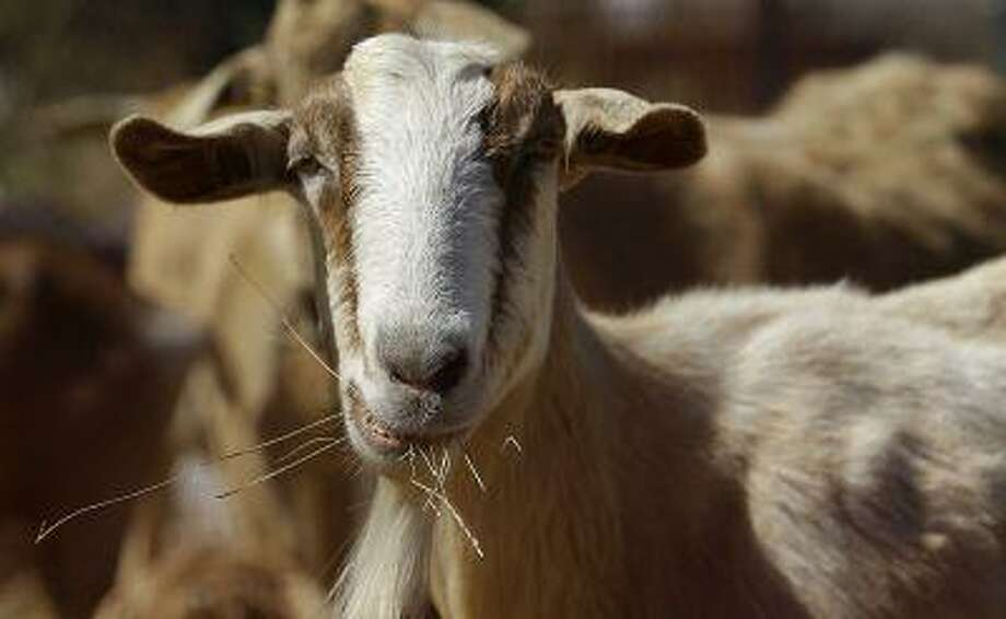 In this Wednesday, June 19, 2013,photo, a goat grazes on a patch of San Francisco International Airport land in San Francisco.. San Francisco airport is using 400 goats to clear from an area of the airport prone to fire. (AP Photo/Jeff Chiu) Photo: ASSOCIATED PRESS / AP2013