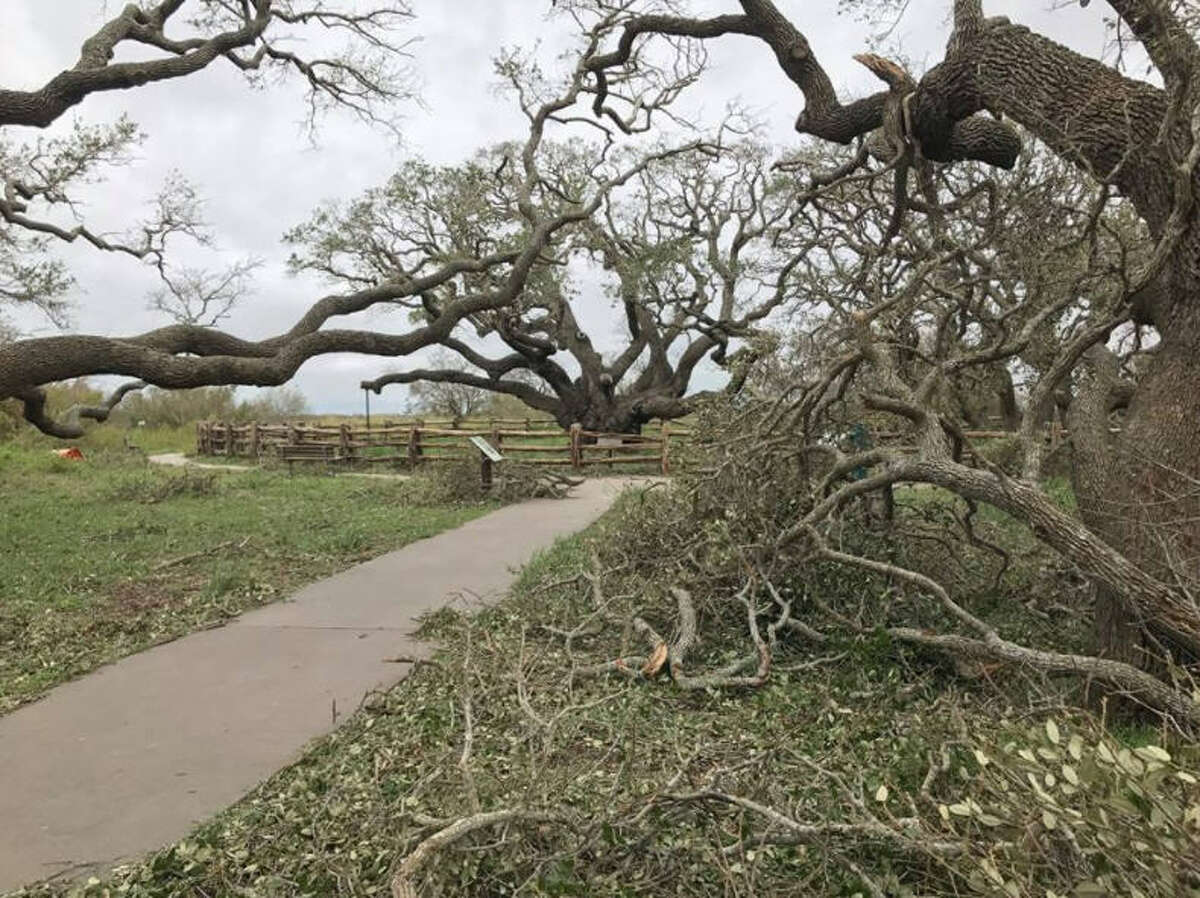 The Big Tree, a live oak that is more than 1,000-years-old survived Hurricane Harvey's landfall near Goose Island State Park. See more images of the flooding caused by Harvey.