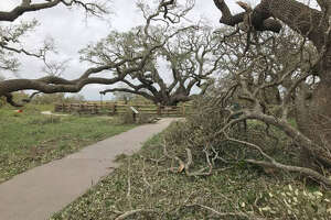 The Big Tree, a live oak that is more than 1,000-years-old survived Hurricane Harvey's landfall near Goose Island State Park.