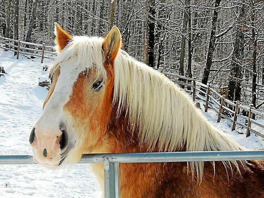 Baron is a 16.1 H, 1900 lbs. Belgian Draft Cross born in 2004 who is looking for his forever home.  He is quiet, sound, easy to work around, wears 2 front shoes, excellent for vet/farrier, loads easily, rides solo or with other horses.  He is not suitable for children due to his size.  Call H.O.R.S.E. of Connecticut at 860-868-1960, or email at horsectinfo@gmail.com, or visit the website (http://www.horseofct.org) for more information. Photo: Journal Register Co.