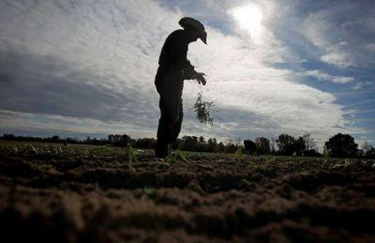 In this Dec. 10, 2010 file photo, a worker tears off the leaves of a Vidalia onion plant before planting its roots into the soil on an onion farm in Lyons, Ga. (David Goldman/The Associated Press)