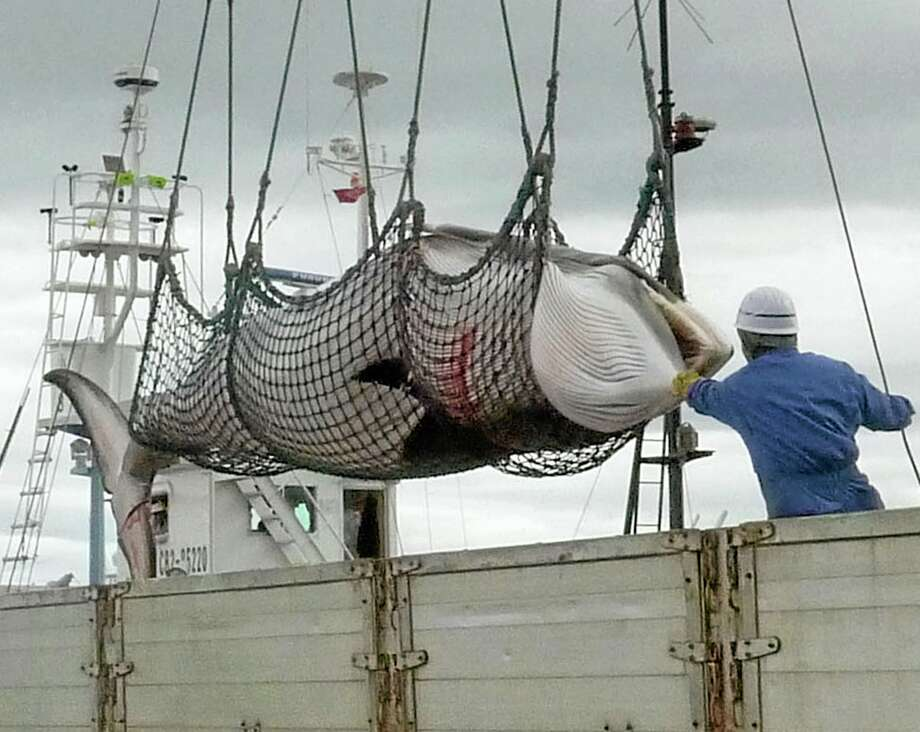 In this September, 2013 photo,  a minke whale is unloaded at a port after a whaling for scientific purposes in Kushiro, in the northernmost main island of Hokkaido. The International Court of Justice on Monday, March 31, 2014, ordered a temporary halt to Japan's Antarctic whaling program, ruling that it is not for scientific purposes as the Japanese had claimed. Australia had sued Japan at the U.N.'s highest court for resolving disputes between nations in hopes of ending whaling in the icy Southern Ocean. AP Photo/Kyodo News Photo: AP / Kyodo News