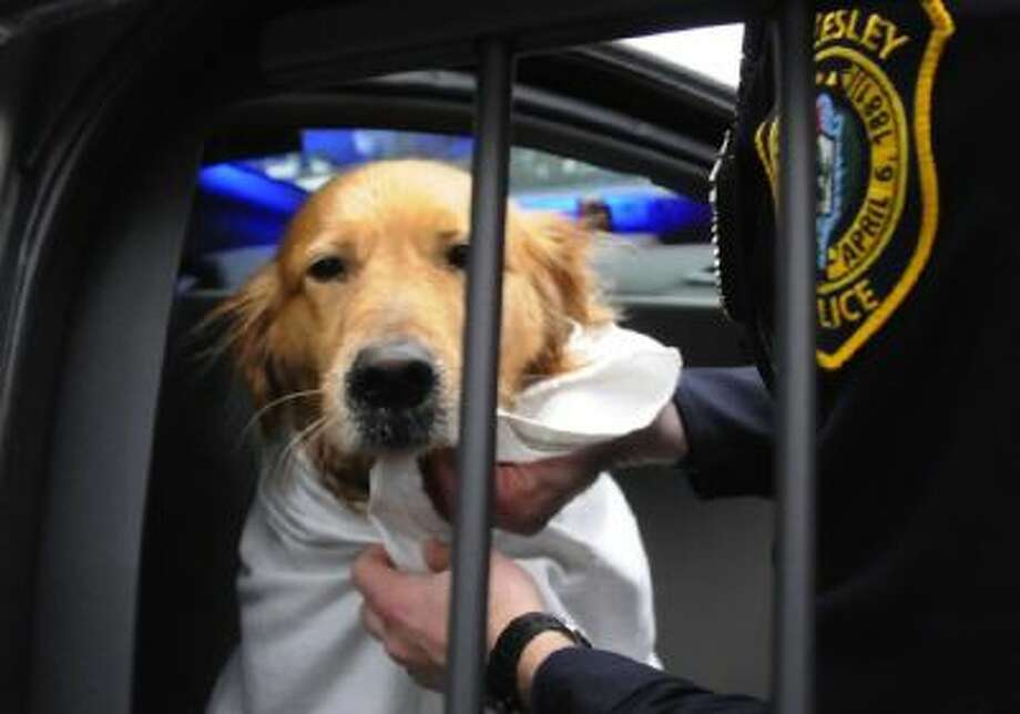 Crosby, a 5-year-old golden retriever, is toweled off after being rescued from a freezing cold river in Wellesley, Mass., on Sunday.