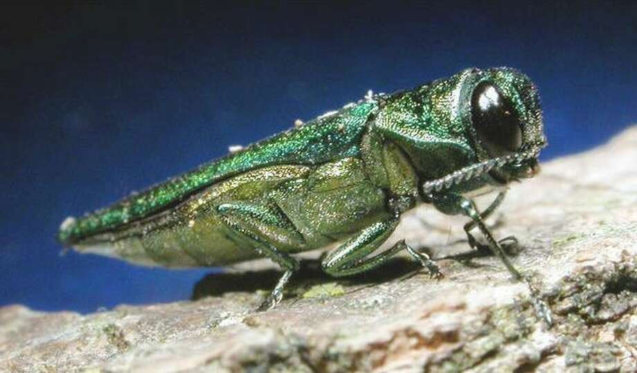 Emerald ash borer/Associated Press