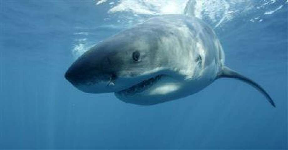 """In this undated file publicity image provided by Discovery Channel, a great white shark swims near Guadalupe Island off the coast of Mexico. The Discovery network special """"Megalodon: The Monster Shark Lives,"""" opened Discovery's annual """"Shark Week"""" on Sunday, Aug. 4, 2013. With an estimated 4.8 million viewers, it had the largest audience of any show in the 26 years that Discovery has made """"Shark Week"""" a part of its summer programming, the Nielsen company said. Photo: AP / Discovery Channel"""