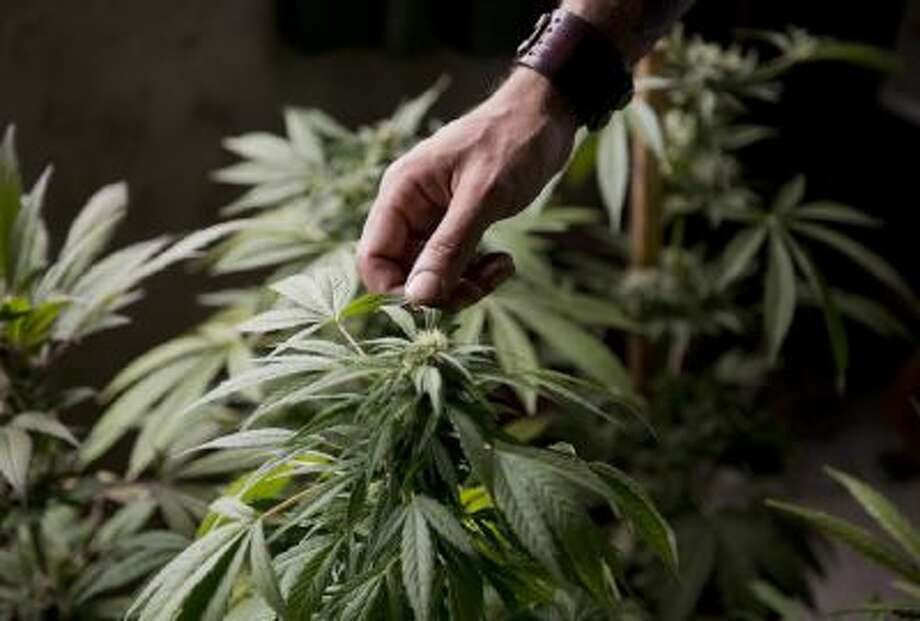 Marcelo Vazquez, a marijuana grower, checks the leaves of his marijuana plants, on the outskirts of Montevideo, Uruguay, Monday.
