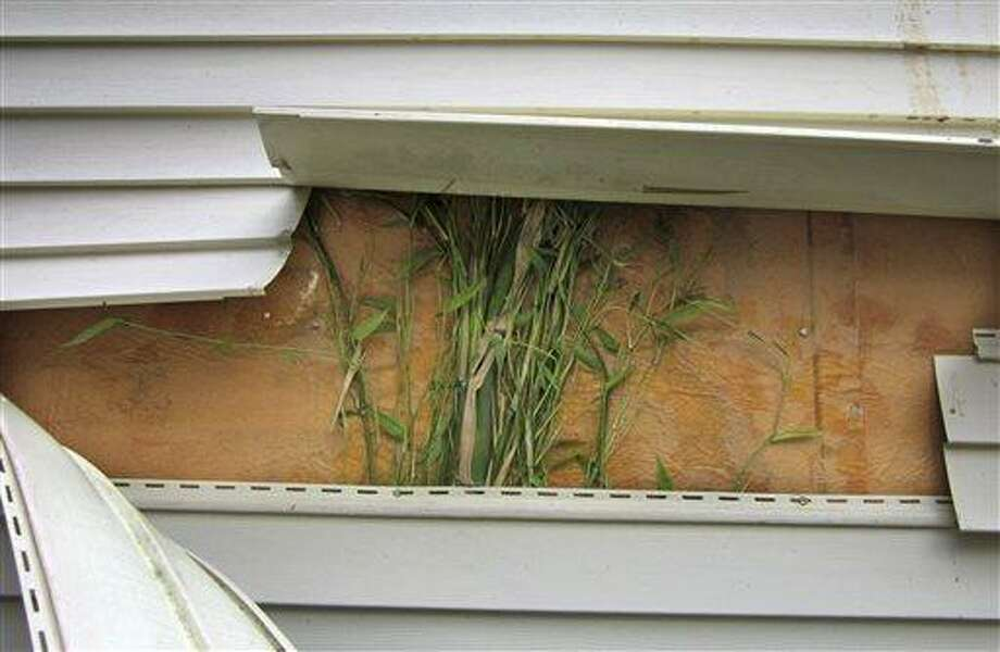 This May 2012 photo provided by John Arcarese shows running bamboo that had grown behind vinyl siding on the side of the family garage in Bozrah, Conn. The plant spread from a neighbor's running bamboo planted several feet from the property line about seven years earlier. The state's general assembly passed a law effective Oct. 1, 2013, making people who plant an aggressive variety of running bamboo on their property liable for damages caused from allowing the plant to spread to a neighboring property. (AP Photo/Courtesy John Arcarese) Photo: AP / John Arcarese
