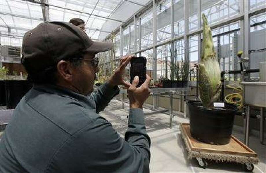 Emmer Ruano takes a picture with his cell phone of the Amorphophallus titanum or commonly known as the corpse flower at the University of California, Santa Barbara greenhouse on Tuesday, July 23, 2013 in Santa Barbara, Calif. Photo: AP / AP