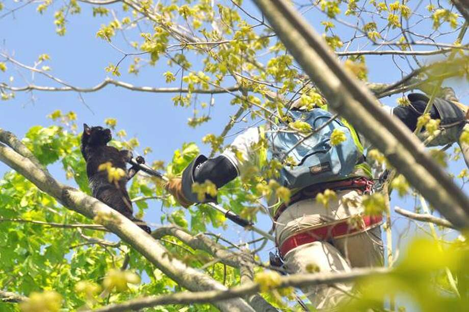 David Waugh successfully snares a cat stuck more than two days near the top of a tree on High Street. Waugh, owner of DPM Tree Service in Torrington, said he does about 100 animals rescues a year. Both Waugh and the cat made it down just fine. (RICK THOMASON / Register Citizen)