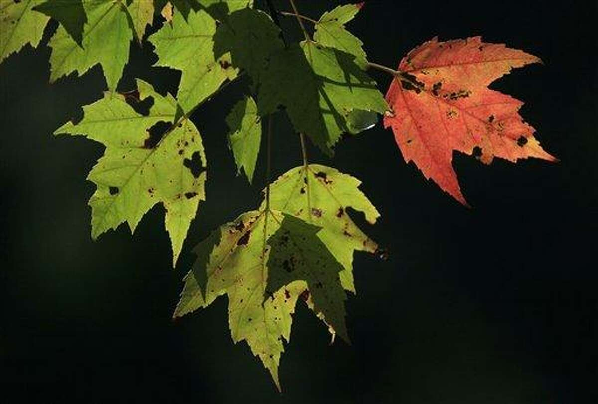 A single leaf has changed color on a red maple in Freeport, Maine, Friday, Sept. 30, 2011. As trees start showing autumn's golden, orange and red hues, nature lovers aren't the only ones taking note: Scientists are watching trees and making note of time that leave change and drop as they seek to determine climate change's impact. (AP Photo/Robert F. Bukaty)