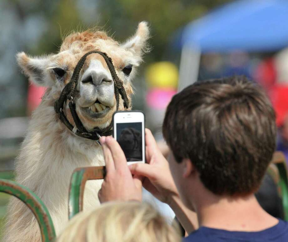 "Jesse Gardziel of Guilford takes a photo of ""Spiffy"" a 9-year-old Llama from Lakeside Feed at the Hammonasset Jamboree. Peter Casolino/New Haven Register"