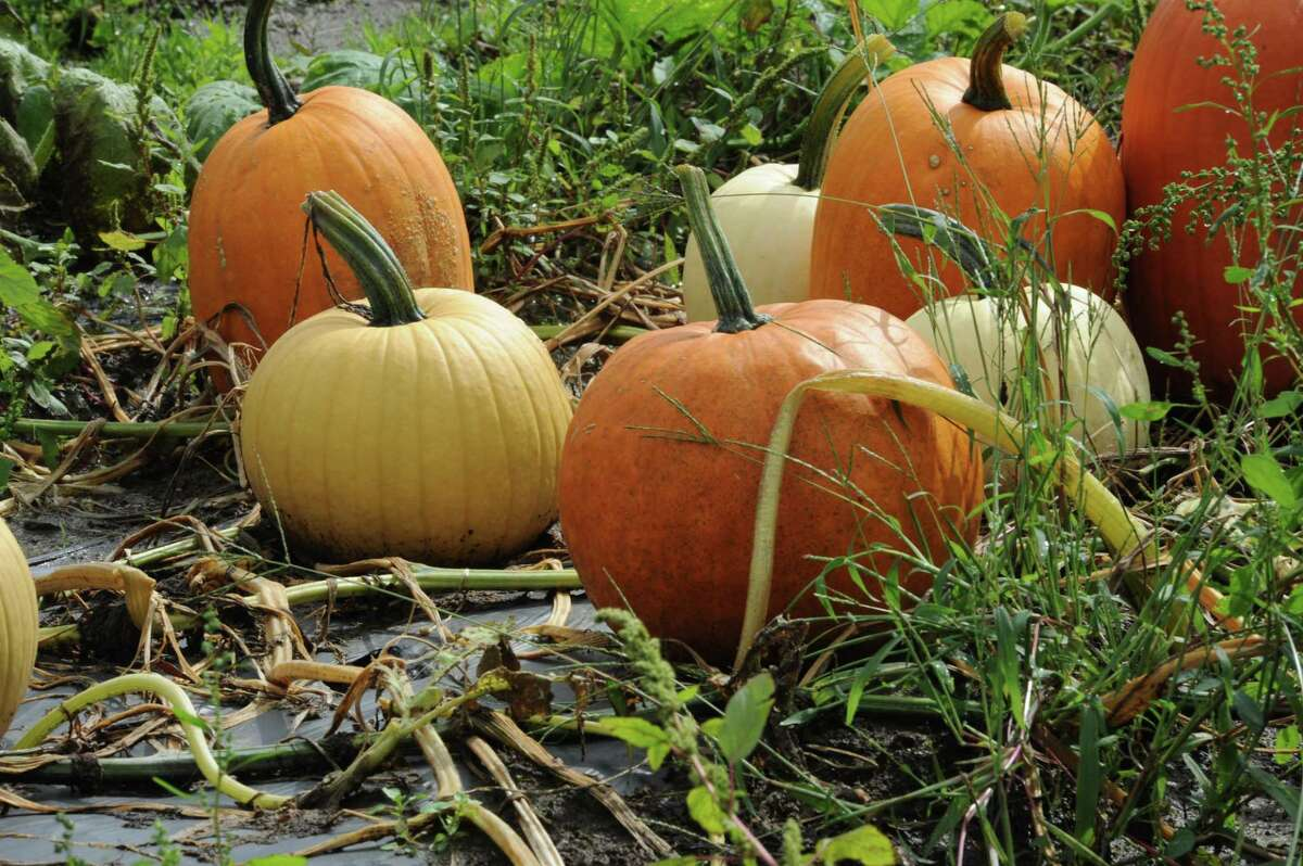 Pumpkins at Harris Hill Farm in New Milford. Photo by Laurie Gaboardi.
