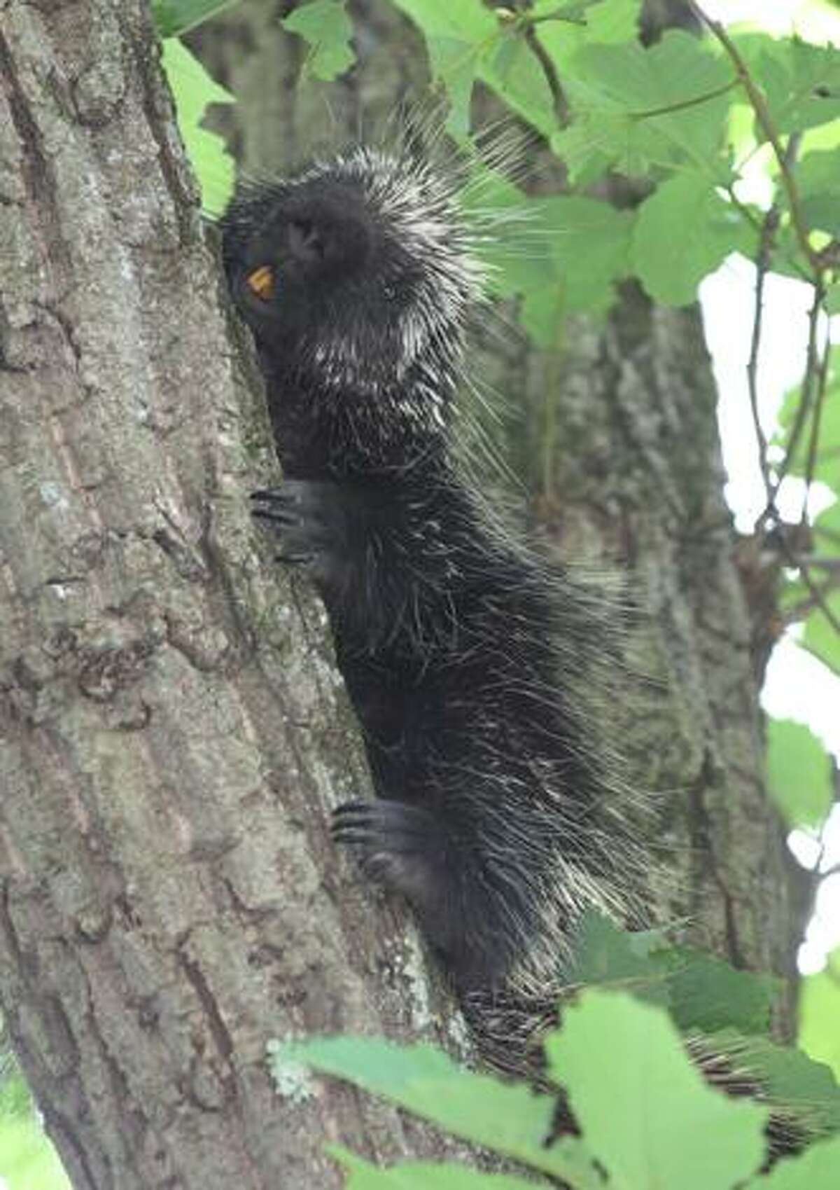 Photos courtesy of Marianne Killackey Photographer Marianne Killackey saw this porcupine in a tree in her yard on Hoerle Boulevard on the west end of Torrington on Friday, and couldn't resist taking photos of him.