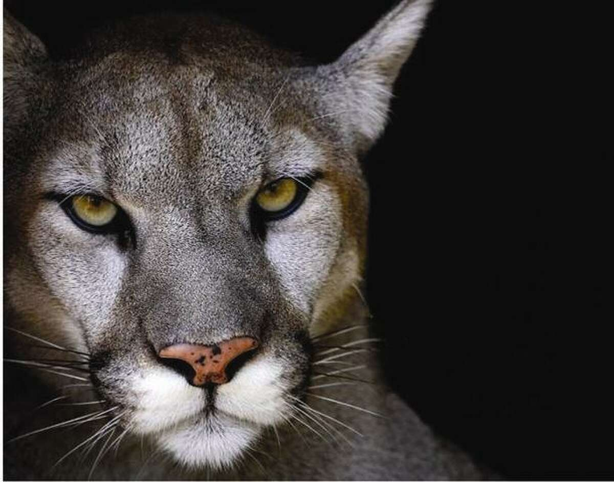 Mountain lions are the subject of an upcoming talk by lecturer and advocate Bill Betty. Photo courtesy of Bill Betty