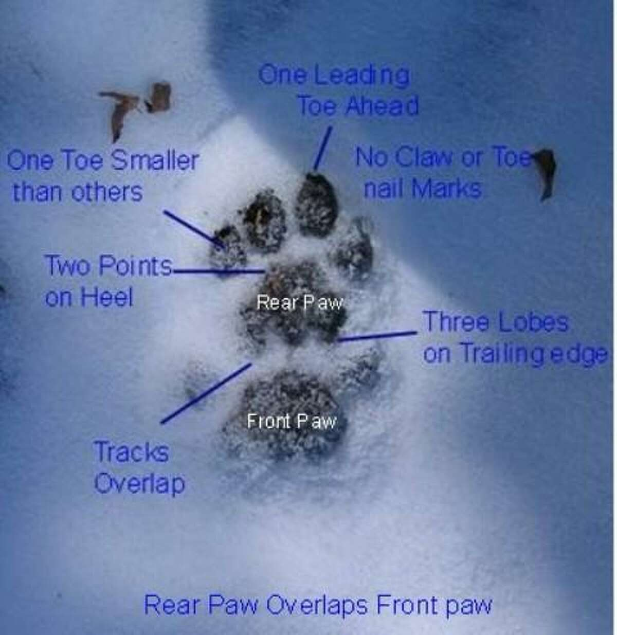 A mountain lion paw print diagram. Photo courtesy of Bill Betty