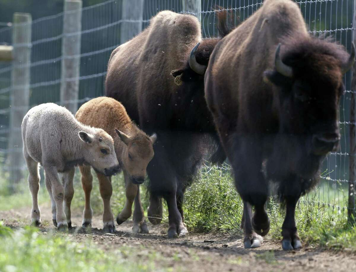 A white bison calf, left, walks in a field with its mother, right, and another calf at the Mohawk Bison farm in Goshen, Conn., on Wednesday, July 18, 2012. Hundreds of people, including tribal elders from South Dakota, are expected to attend naming ceremonies later this month at the Goshen farm where the animal was born on June 16. (AP Photo/Mike Groll)
