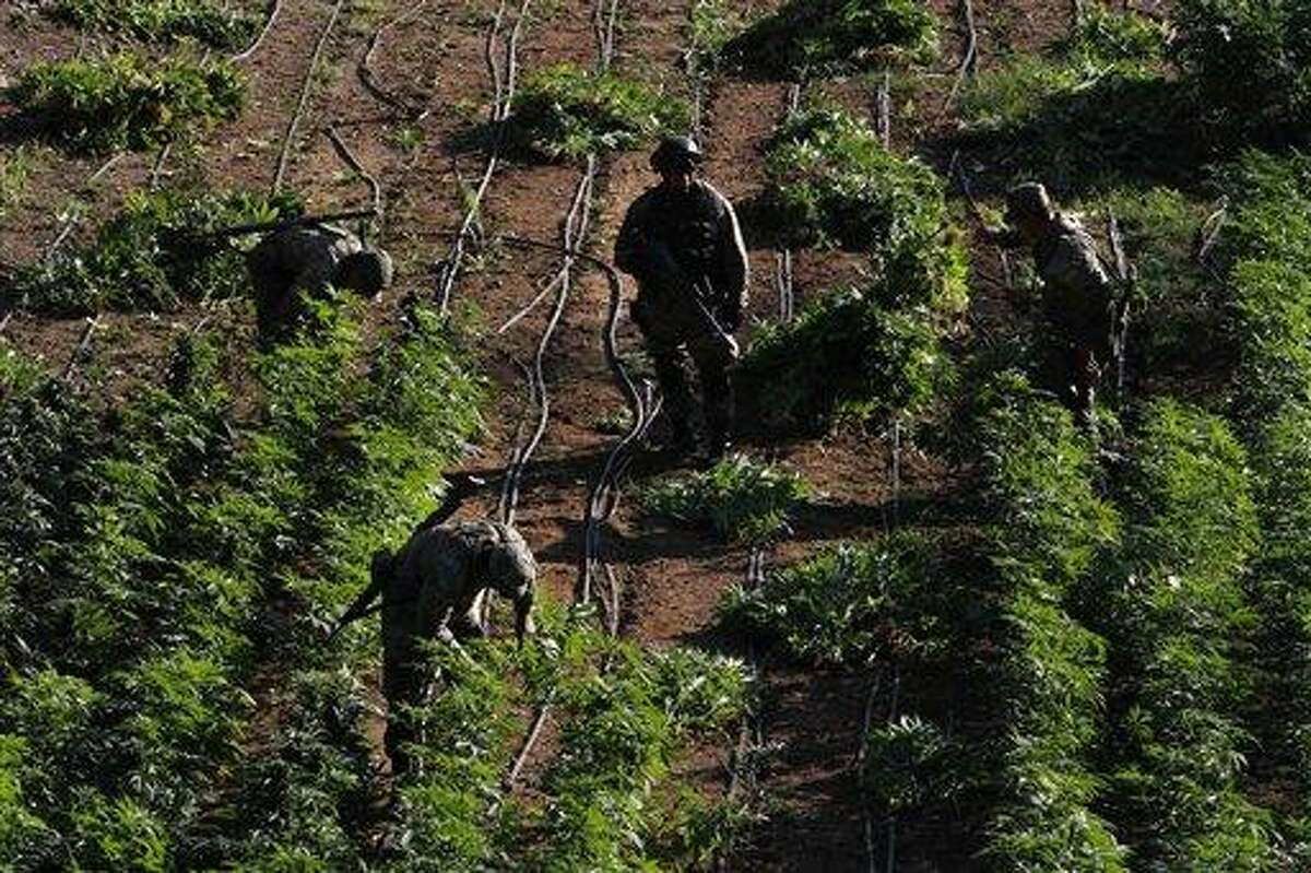 Soldiers seize marijuana plants at an illegal plantation found during a military operation on Friday at the Culiacan mountains, northern Mexico, Monday. The drought in northern Mexico is so bad that it has hurt even illicit drug growers and their normally well-tended crops of marijuana and opium poppies, Gen. Pedro Gurrola, commander of army forces in the state of Sinaloa, said. Associated Press