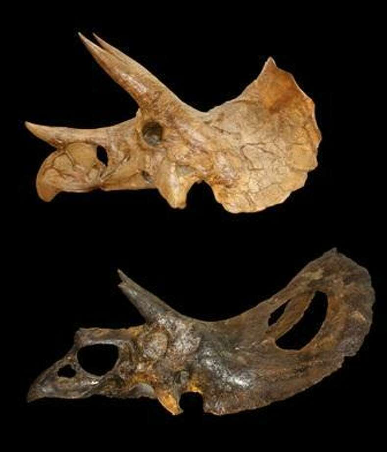 Triceratops is at top and bottom skull is Torosaurus.  Photo courtesy of Nicholas Longrich