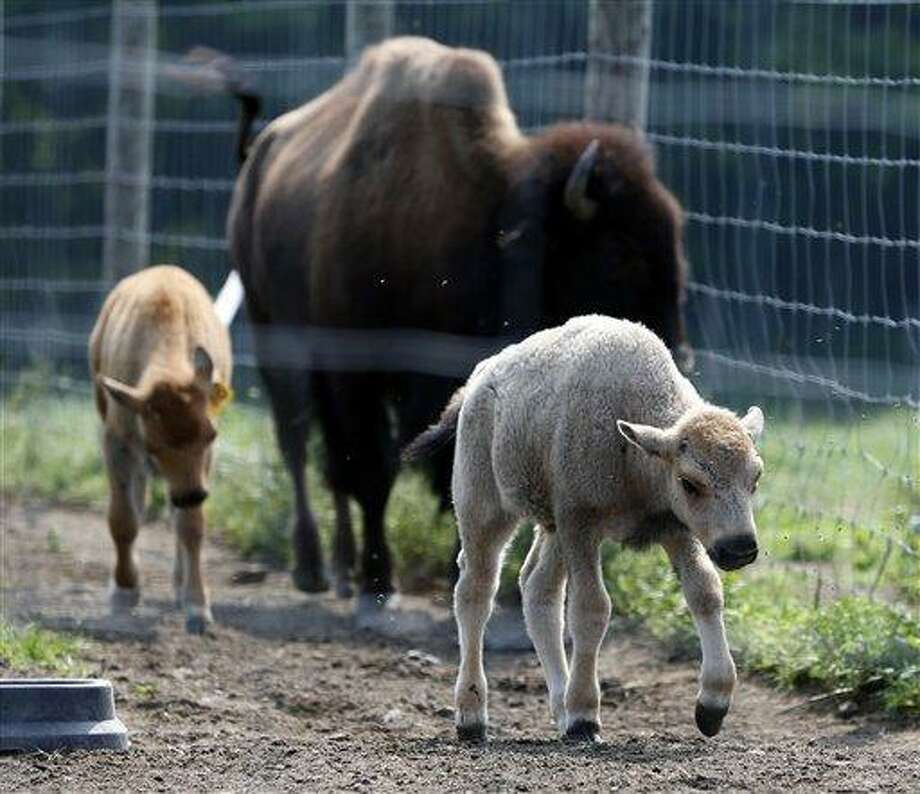 A white bison calf walks in a field with other bison at the Mohawk Bison farm July 18 in Goshen. Associated Press Photo: AP / AP