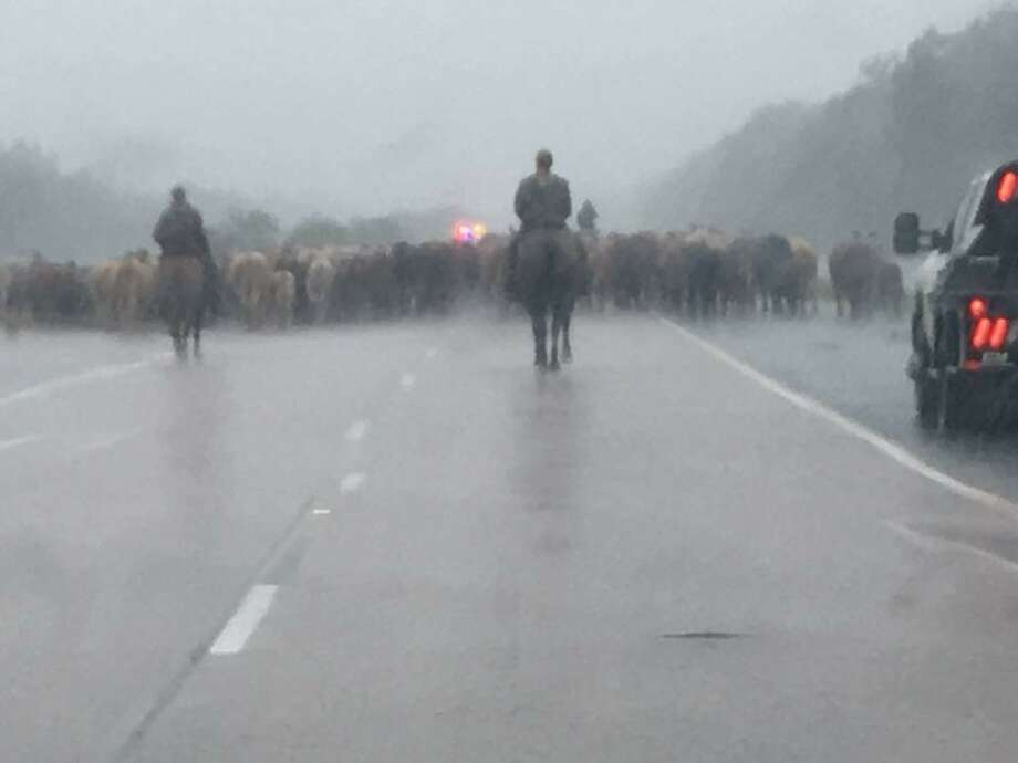 On Sunday, a group of cattle were herded down US 90 between Liberty and Dayton to higher ground in Dayton to escape the impending flood.SLIDESHOW: Animals in Hurricane Harvey Photo: Submitted