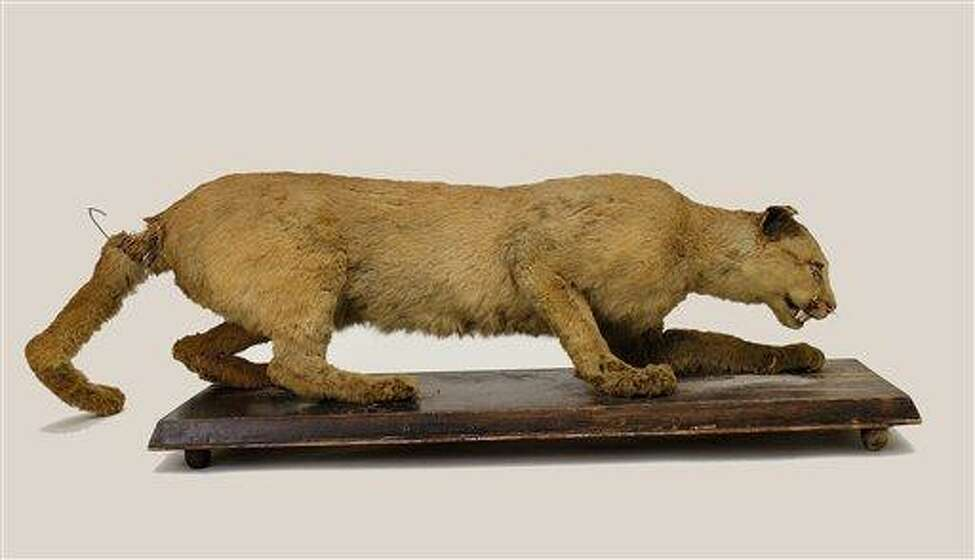 This 2006 photo provided by the State Museum of Pennsylvania, Pennsylvania Historical and Museum Commission, shows the taxidermy of the Eastern Cougar said to have been the last cougar killed in Pennsylvania in 1874 by Thomas Anson. The head of the museum's collection management said it was formerly part of the collection of Henry Shoemaker. The U.S. Fish and Wildlife Service on Wednesday, March 2, 2011, declared the eastern cougar to be extinct, confirming a widely held belief among wildlife biologists that native populations of the big cat were wiped out by man a century ago.