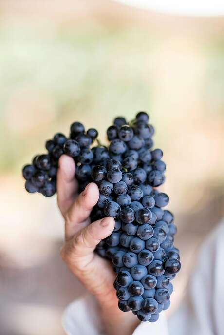 Vern J. Vierra, the owner of St. Jorge Winery, holds a bunch of alicante grapes at the winery in Acampo, Calif., on Sunday, August 20, 2017. The vineyard specializes in Portuguese wines.