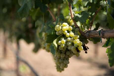 Ancient vintners grew the same types of domesticated grape vines that we still use for winemaking today, a new study has found. Photo: Laura Morton / Special To The Chronicle 2017