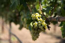 Grapes are seen growing on the vine at Acquiesce Winery in Acampo, Calif., on Saturday, August 19, 2017. The winery features premium white and ros� wines created in small batches.
